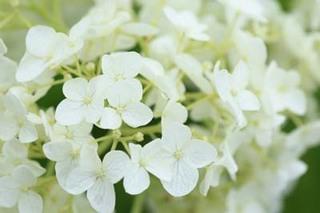 アジサイ 鉢植えの花後の栽培方法