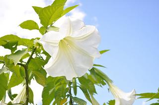 ダチュラの鉢花栽培
