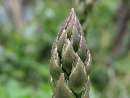 Asparagus-new (9).jpg