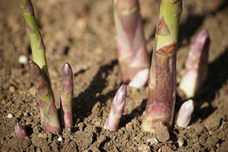 アスパラガスの育て方|深く耕して元肥を施す