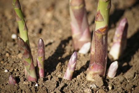 Asparagus20(10).jpg