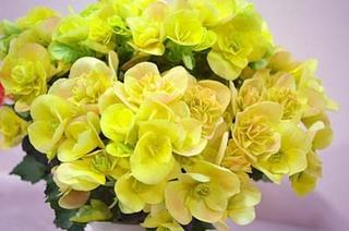 エラチオール(リーガス)べゴニアの花やつぼみが落ちる理由