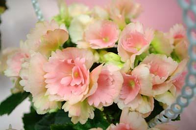 Begonia Elatior (1).jpg