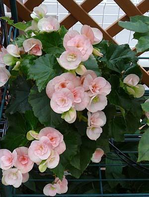 Begonia Elatior (2).jpg