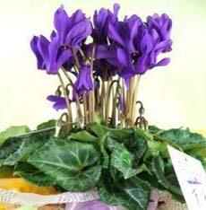 シクラメンの手入れ|花を中央に咲かせるコツ
