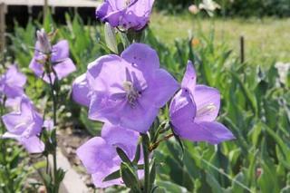 カンパニュラ パーシフォリアを庭植えのコツ