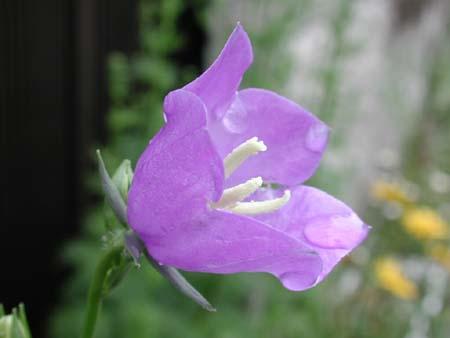 Campanula persiciforia (3).jpg