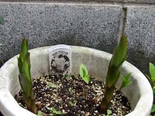 ユリ 鉢植えの花後の手入れのコツは?