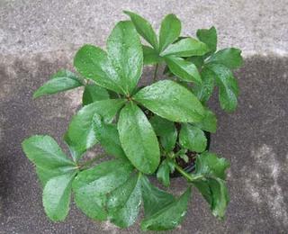 Christmasrose (8).JPG