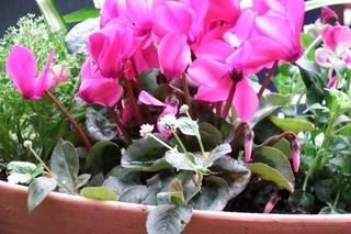 シクラメン 花が咲かない原因と対策