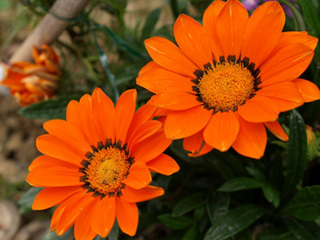 ディモルフォセカ|冬に購入した鉢花の栽培方法