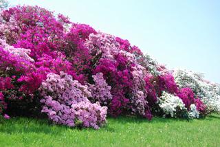 ツツジが家庭菜園近くで咲きにくい理由