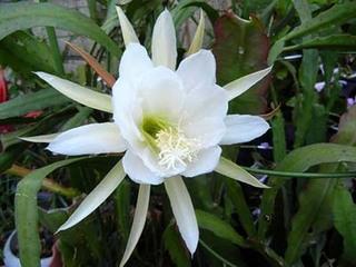 クジャクサボテン 挿し芽のコツ
