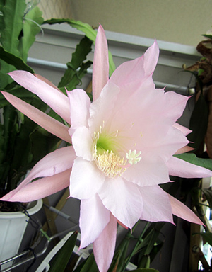Epiphyllum (2).jpg