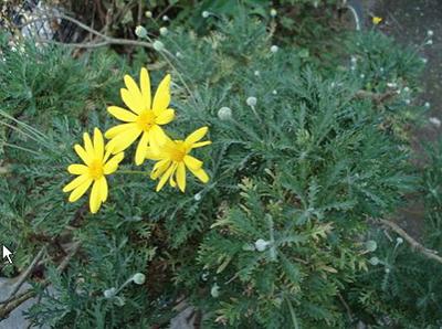Euryops daisy (1).JPG