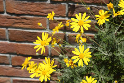 Euryops daisy (3).jpg