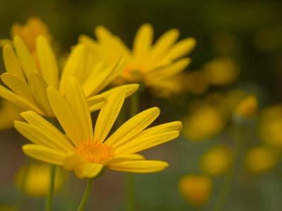 Euryops daisy (4).jpg