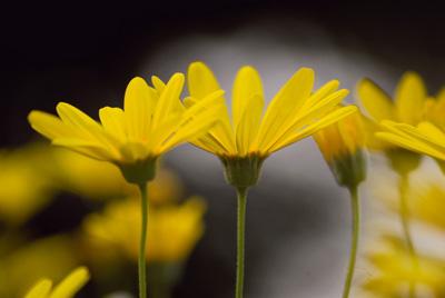 Euryops daisy (5).jpg