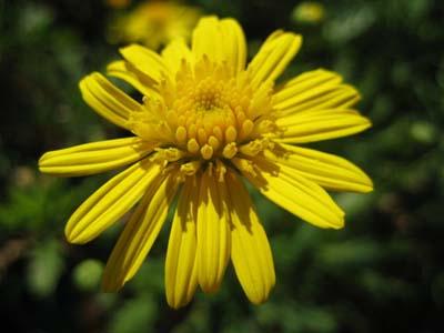Euryops daisy (6).jpg