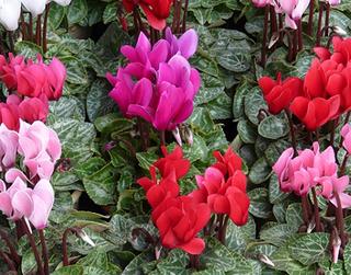 鉢花 冬の室内栽培のコツ