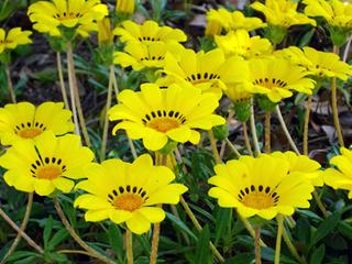 ガザニアを花壇で育てるコツ