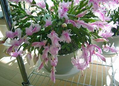 Holiday Cactus.jpg