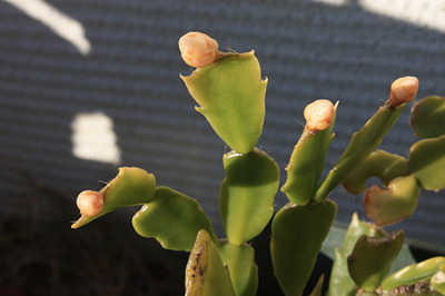 Holiday Cactus (1).jpg