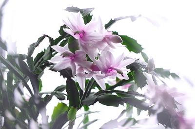 Holiday Cactus (4).jpg