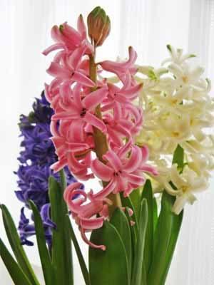 Hyacinthus03.jpg