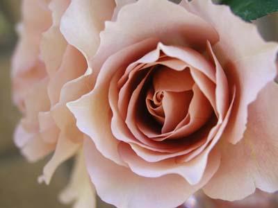 Julia's Rose.jpg