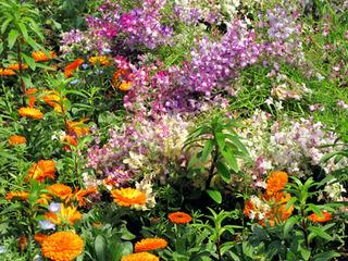 リナリアの庭植えのコツ
