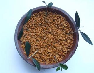 Olive-sasiki (3).JPG