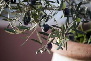 オリーブ 鉢植え栽培のコツ