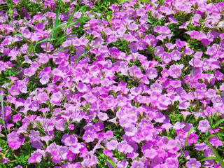 ペチュニアを増やす方法|タネまきと挿し芽