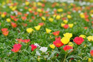 ポーチュラカを多く咲かせるコツは?