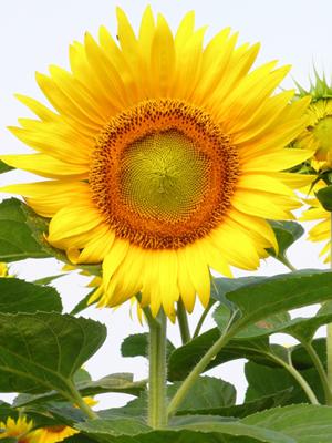 Sunflower (2).jpg
