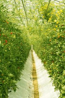 トマト 割れる原因は?