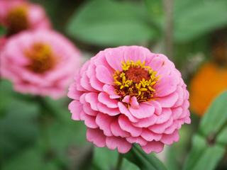 ジニアの花を長く咲かせる方法は?