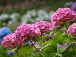 アジサイの花色をきれいに出すコツは?
