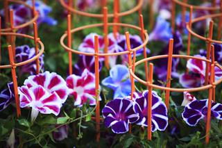 アサガオのあんどん仕立てで花を多く咲かせる方法