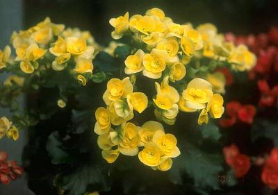begonia6.jpg
