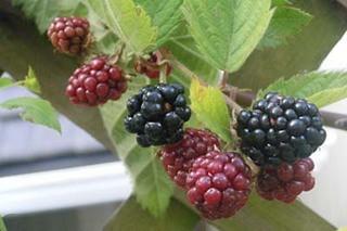 ブラックベリーを庭植えで育てるコツ
