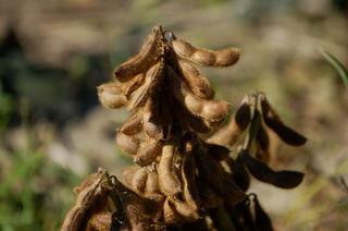 エダマメ・ダイズの育て方|開花期の水切れに注意!