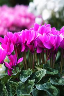鉢花や苗を購入するコツ