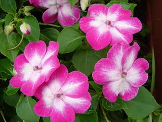 インパチェンスの花が咲かない理由は?