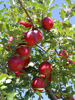 リンゴ 鉢植えのコツ