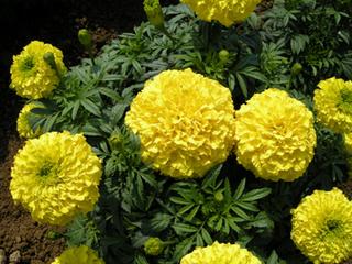 マリーゴールドの増やし方|タネまきと苗の育て方のコツ
