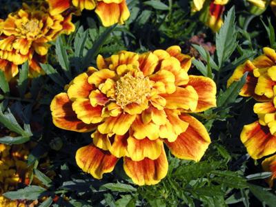 marigolds (1).jpg