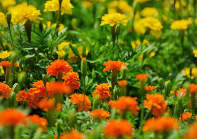 marigolds (2).jpg