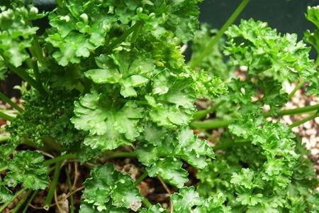 parsley1.JPG